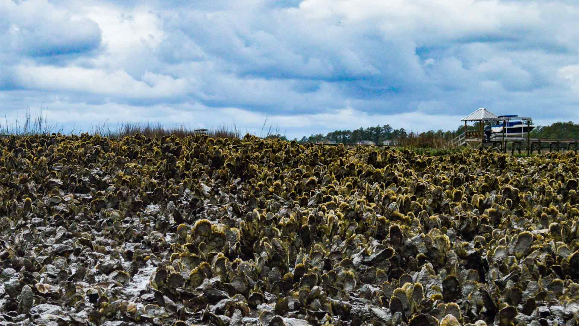 Oysters growing in pluff mud in Mount Pleasant, SC