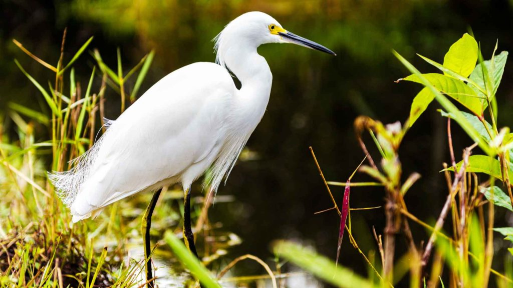 Snowy Egret by Alex Shutin on Unsplash